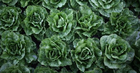 Recall of Romaine Lettuce – Trends and Concerns